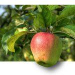 apple, fruit, apple tree