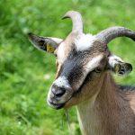 goat, animal portrait, horned