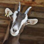 goat, pet, farm