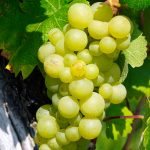 grapes, wine, vine