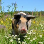 pig, pigs, linderödsgris